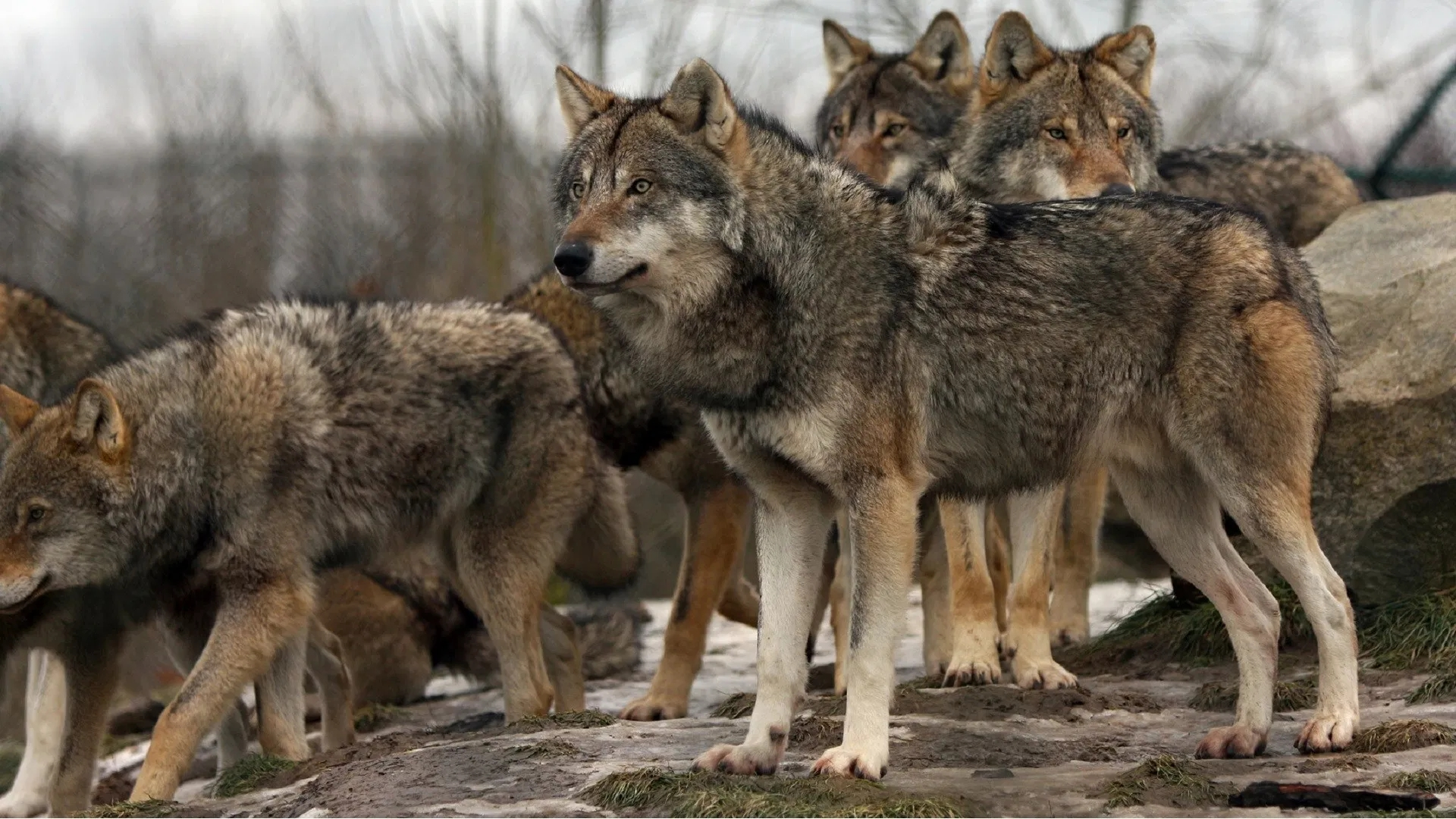 File-Photo-Wolves-1920x1080